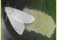 Американський білий  метелик – небезпечний шкідник