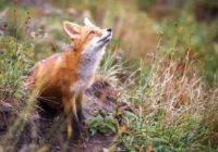 У Роздільнянському районі проходить імунізація диких тварин